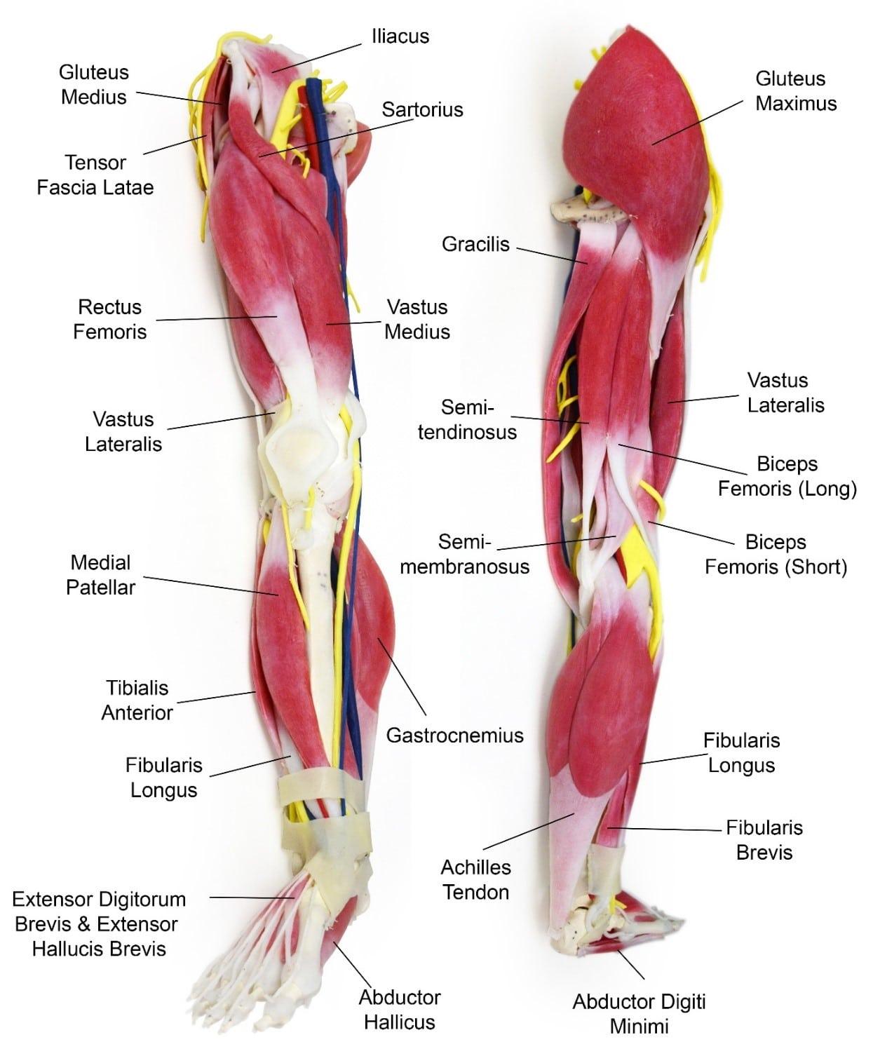 anatomija trening nog in zadnjice