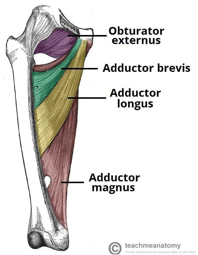 trening nog in zadnjice anatomija primikalk