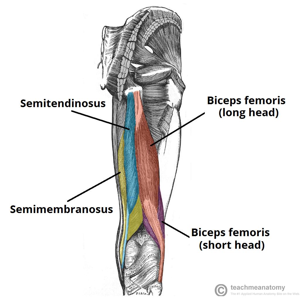 trening nog in zadnjice anatomija  zadnje lože