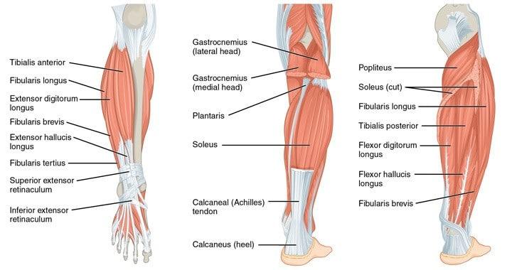 trening nog in zadnjice anatomija mečnih mišic