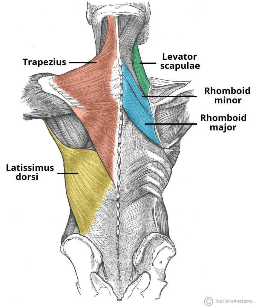trening za mišično rast zgornjega dela telesa anatomija hrbta
