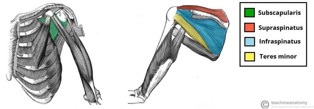 trening za mišično rast zgornjega dela telesa anatomija ramen