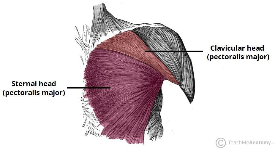 trening za mišično rast zgornjega dela telesa anatomija prsnih mišic