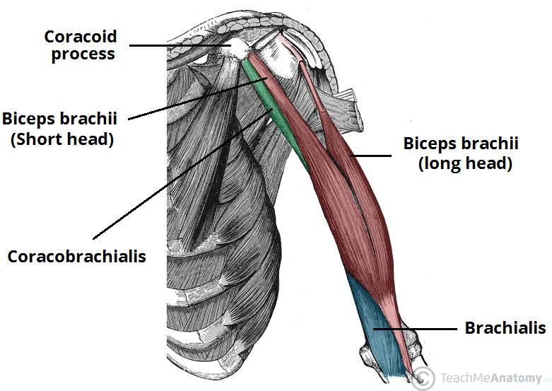 trening za mišično rast zgornjega dela telesa anatomija roke