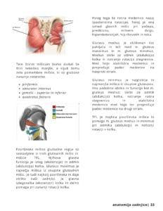 moč in pridobivanje mišične mase